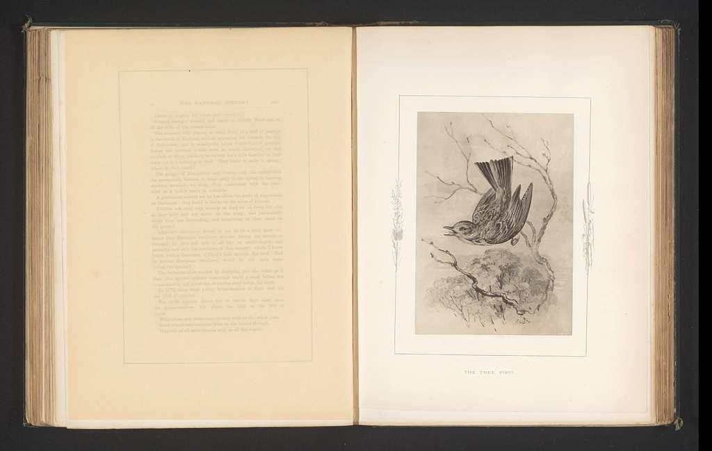 Fotoreproductie van een tekening van een boompieper door Philip Henry Delamotte
