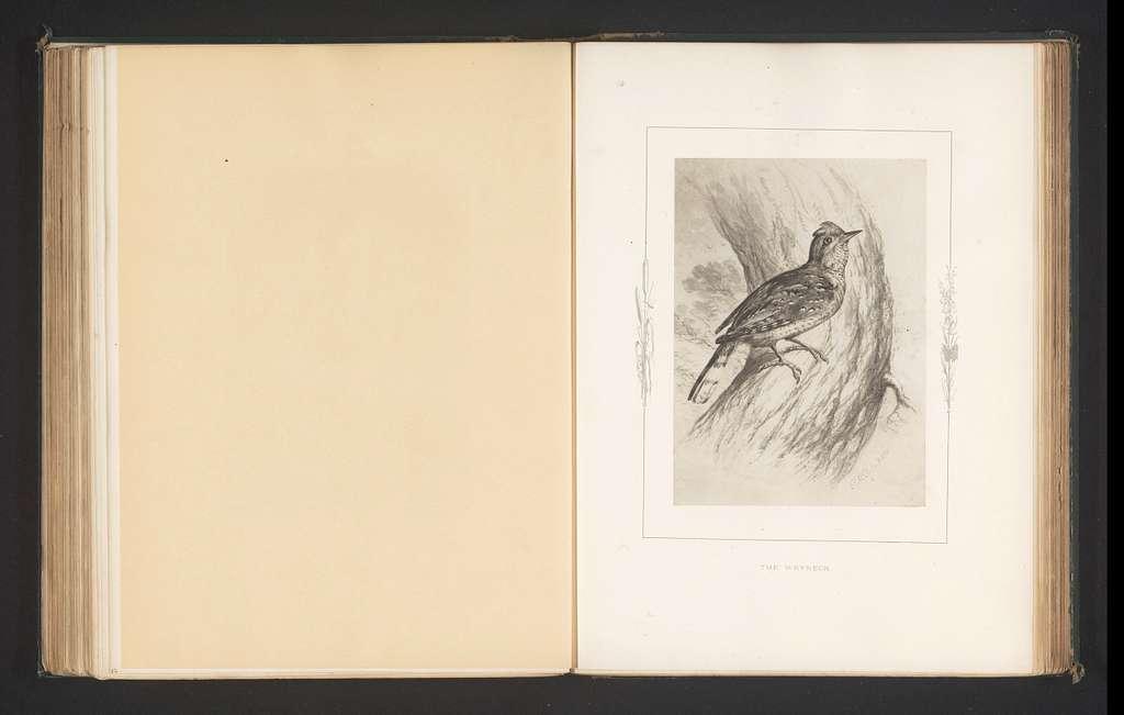 Fotoreproductie van een tekening van een draaihals door Philip Henry Delamotte