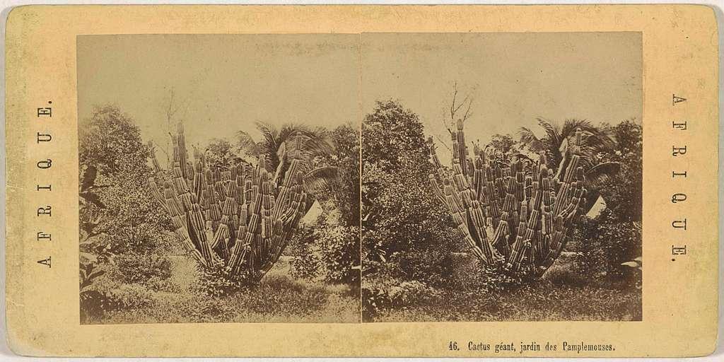 Een cactus in de Jardin de Pamplemousse