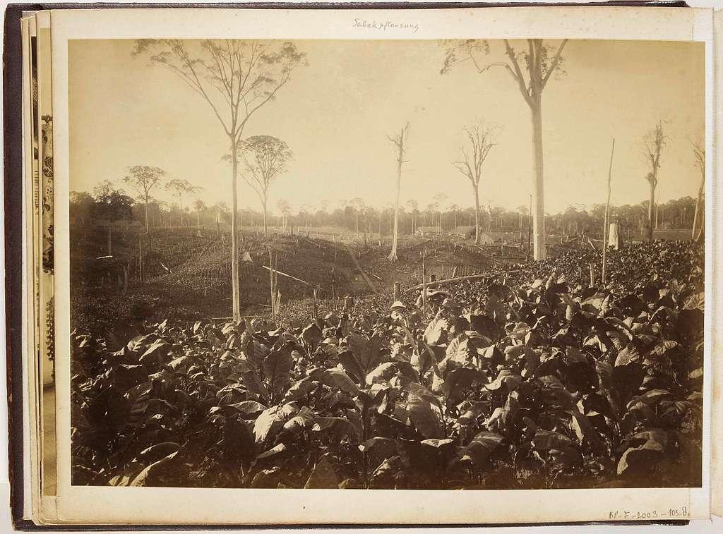 Gezicht op de tabaksplantage Glen Bervie, Langkat Sumatra