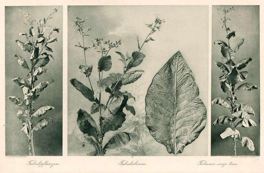 Tabaksbladen (links, midden, rechts)