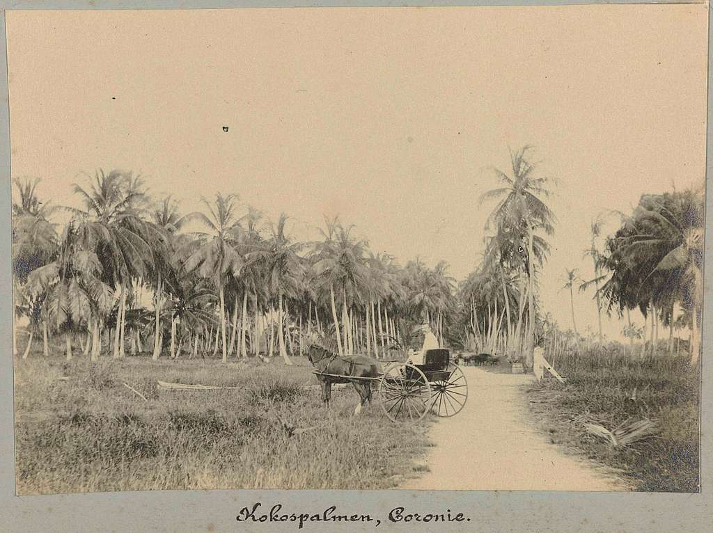 Kokospalmen, Coronie